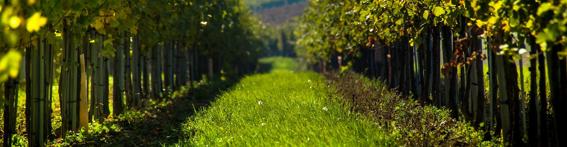 Organic vines in vineyard with grass and crop cover