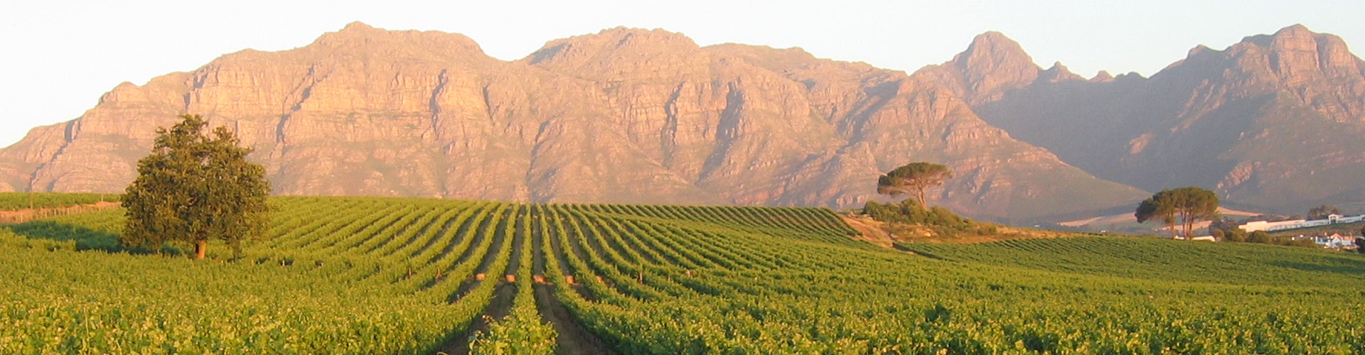 Vineyards of Klein Zalze in South Africa