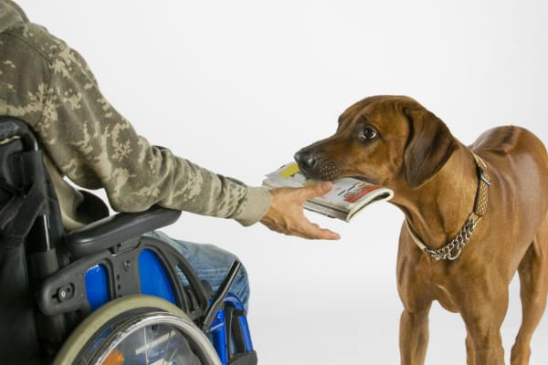 Mobility Assistance Dogs can retrieve objects and help handlers get around. Image via Shutterstock.
