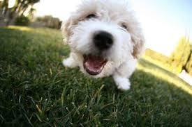 a small white dog standing in the grass