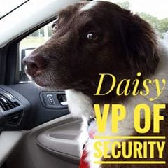 Daisy, an Australian Shepherd mix, is VP of Security at Willie's Choice