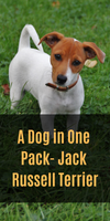 A Dog in One Pack- Jack Russell Terrier