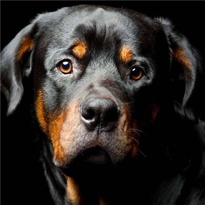 5D DIY Diamond Painting Rottweiler Dog Full Square Diamond Embroidery