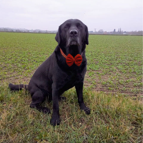 Blended Cotton Orange, Navy Blue and Velvet Red Bows with Collar