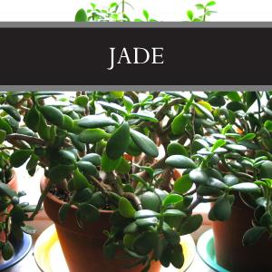 Jade Lotion