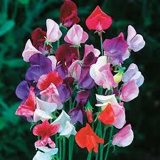 SWEET PEA - HEIRLOOM MIX