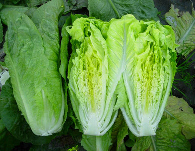 LETTUCE - ROMAINE (COASTAL STAR)