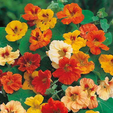 NASTURTIUM - JEWEL MIXED