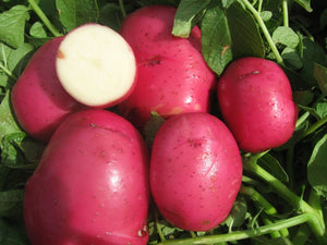 Fresh Red Naturally Grown Potatoes-PICK UP ONLY