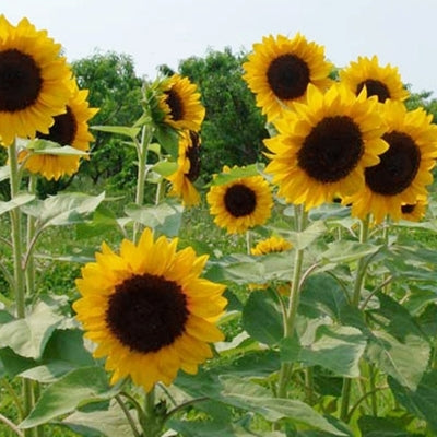 SUNFLOWER - SUNRICH ORANGE