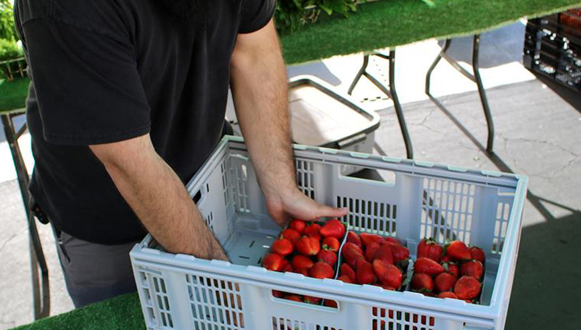 Strawberries being carried in a CleverCrate® Pro-Grade