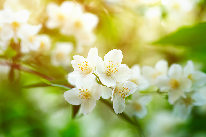 List of the best jasmine scented perfumes on the market