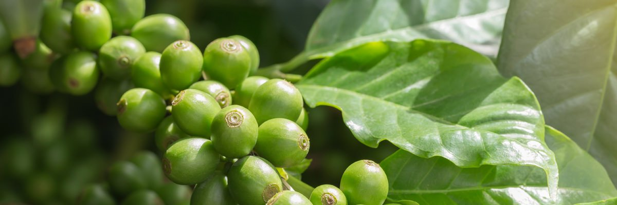 Why Choose Organic Caffeine