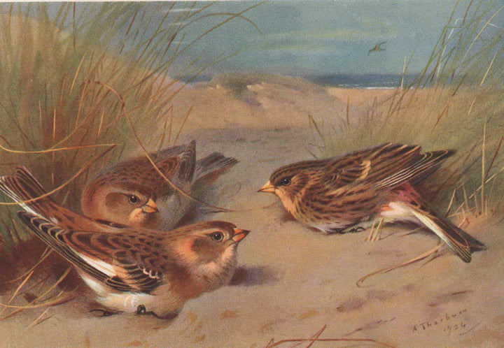 Snow-Bunting and Twite by Archibald Thorburn, 1924