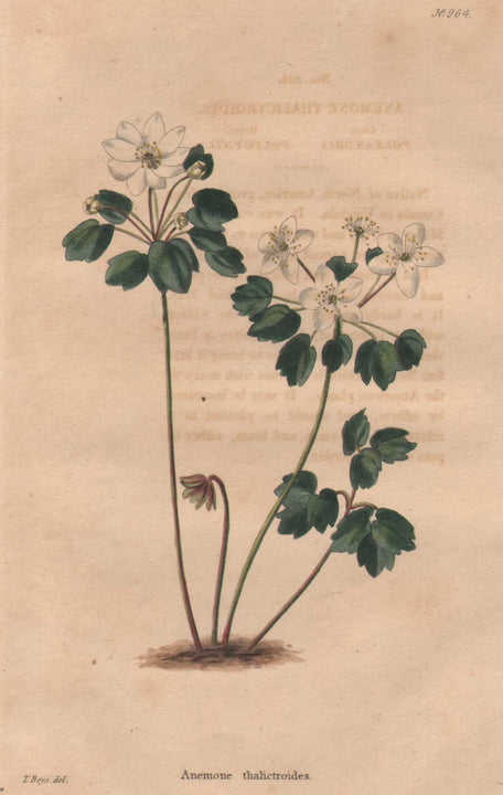 Anemone thalictroides by Boys, 1824