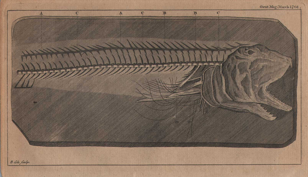 Study of a Fish Skeleton by Cole, 1761