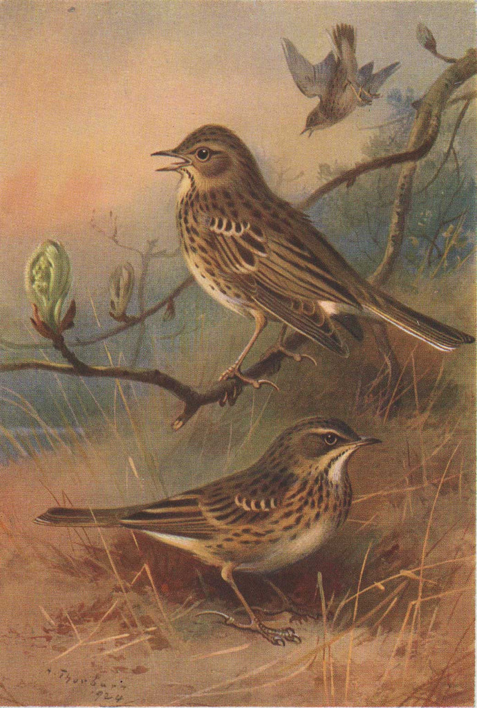 Tree Pipit & Meadow Pipit by Thorburn, 1924