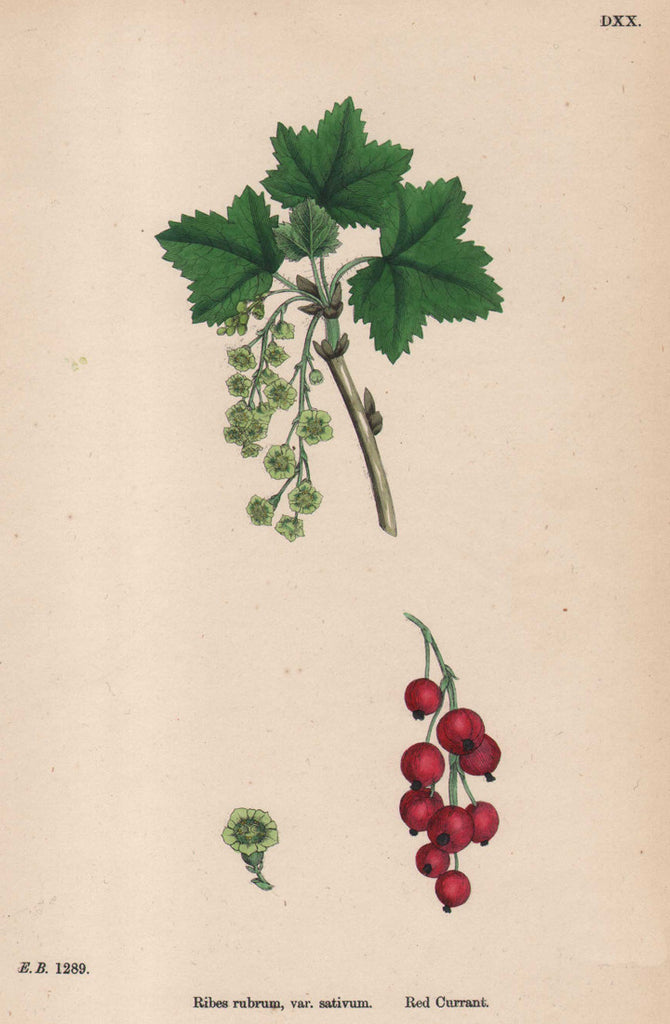 Ribes rubrum, var. sativum. Red Currant by Sowerby, circa 1883.
