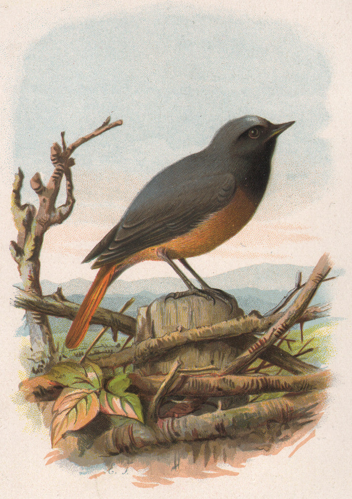 Redstart by Turck, 1883