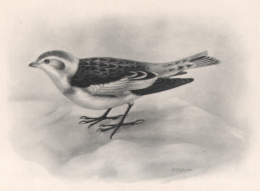 Image of Snow Bunting by Lilian Marguerite Medland, for Charles Stonham's The Birds of the British Islands, circa 1908