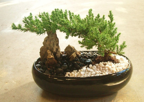 "b) Juniper 8"" ceramic pot (narrow pot)"