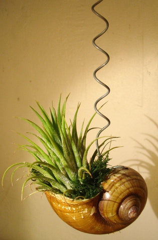 Hanging tillandsia with a snail shell