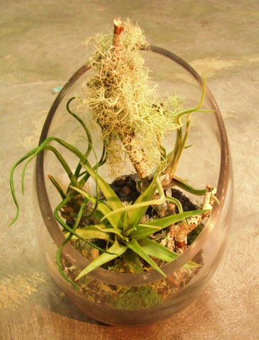 Tillandsias with a narrow half moon vase