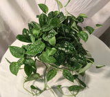 "6"" Satin Pothos ( perfect for hanging )"