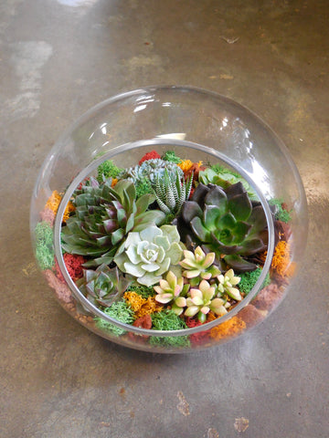 "Succulents terrarium (F) in a 10"" studio glass ***large***"