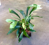 Staghorn fern in coconut shell ( with ceramic tray)