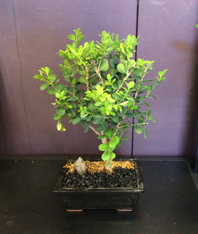 "Boxwood bonsai in 6"" pot"
