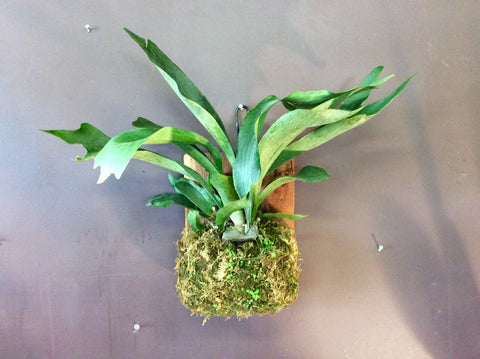Staghorn fern on a slab
