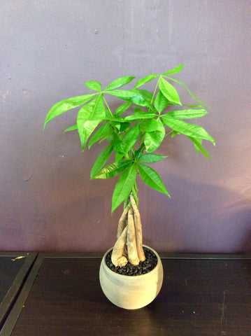 "Money tree bonsai in 4"" pot"