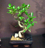 "Ficus bonsai in 8"" pot ( indoor bonsai)"
