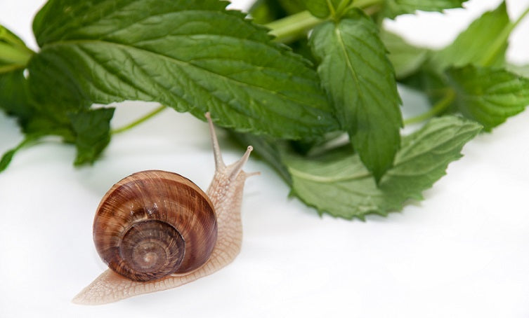Blog Post on Snails in Skincare_BeautyKo