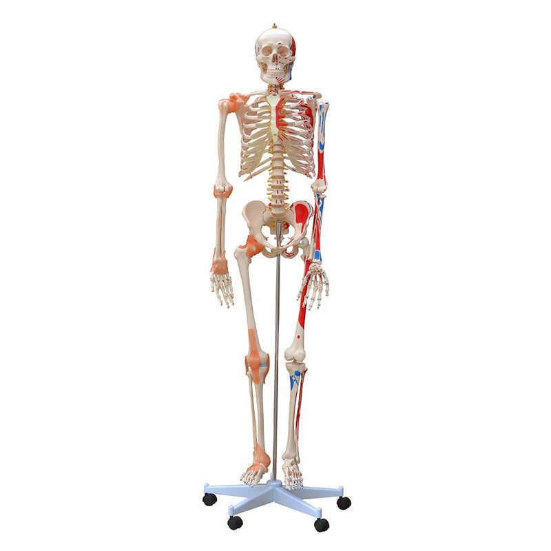 Skeleton Model with Muscles and Ligaments