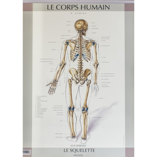 Anatomical chart of the human skeleton, French (Back)