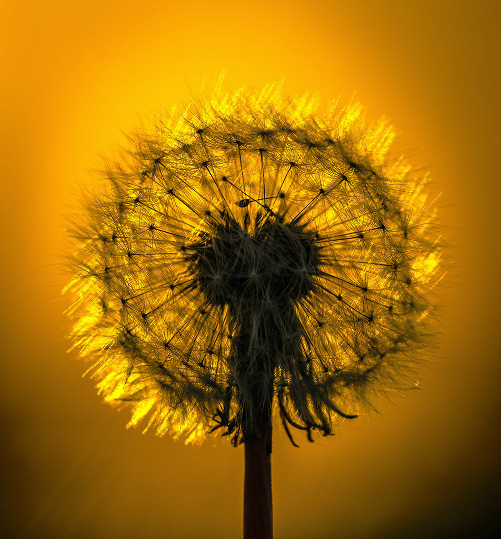 Picture of a thistle with a yellow golden sky background