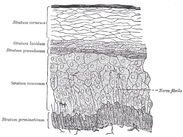 Layers of the Epidermis | Make This Universe