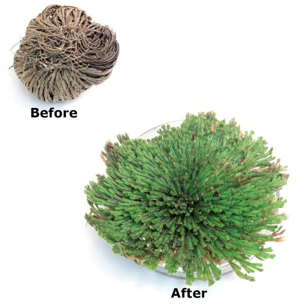 Rose of Jericho | Resurrection Plant - The Columbian Exchange Group