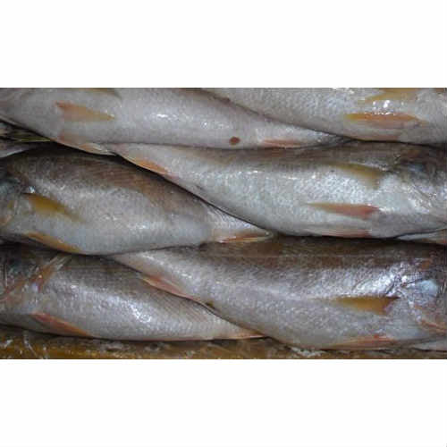 Frozen Croaker Fish (One Carton, 20 kg,Uncut)