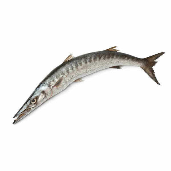 Fresh Barracuda Fish