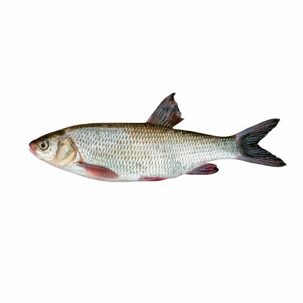 Fresh Croaker Fish (Large) 4-5 uncut sizes and 12-15 cut slices