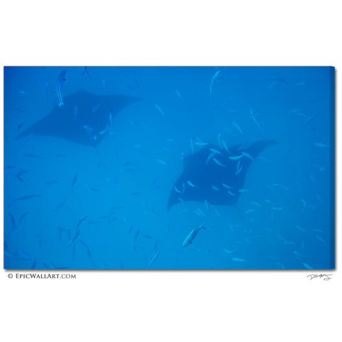 """Manta Rays Soaring"" Underwater Fine Art Gallery Wrapped Canvas Print"