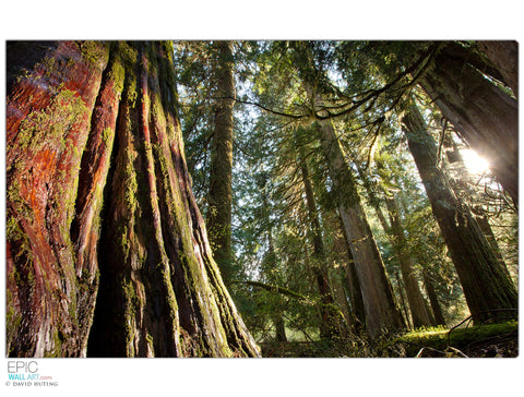 """Ancient Cedar Forest Sunlight"" Mt. Rainier Fine Art Gallery Wrapped Canvas Print"