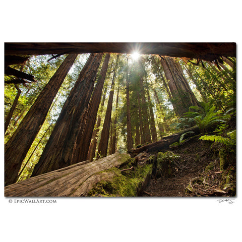 """Redwood Forest Sunlight"" California Fine Art Gallery Wrapped Canvas Print"