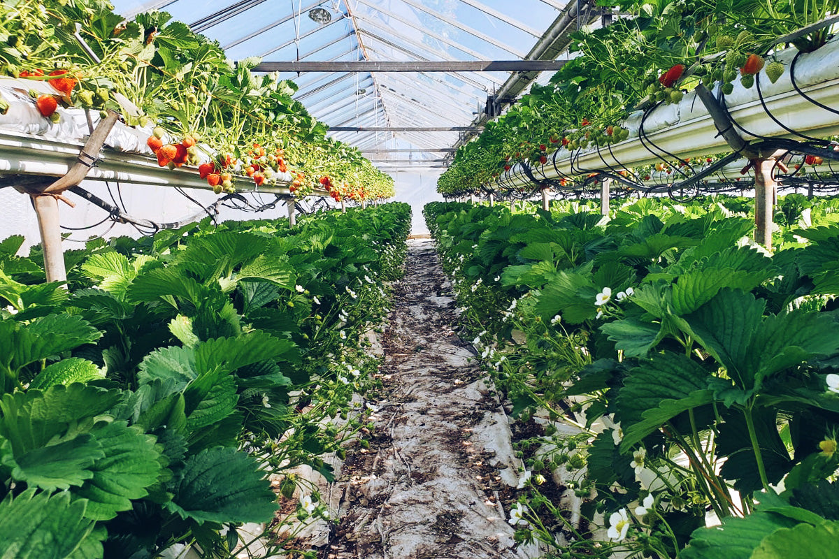 growing strawberries in a glasshouse in cornwall at boddington's berries