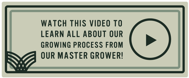 cannabis growing process interview