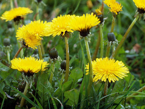 The incredible nutritional & medicinal properties of the humble dandelion!