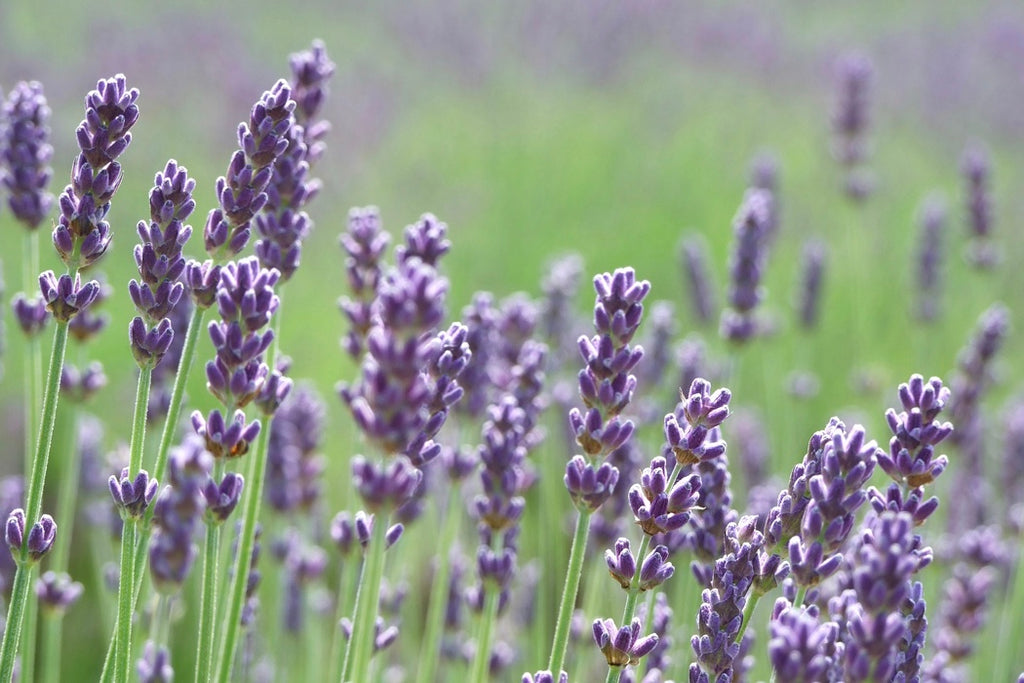 Lavender Properties and Uses